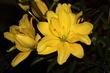 Lilie žlutá plnokvětá