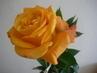růže.