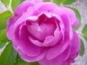 růže..