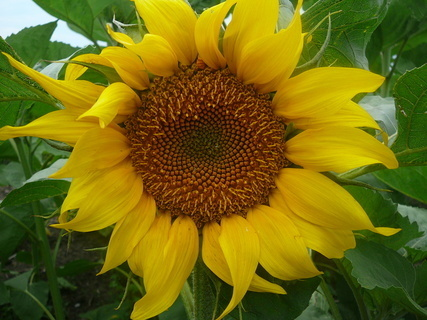 FOTKA - slunečnice