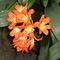 Květ klívie