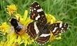 motýl s kamarádem čmeldou