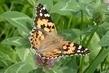 motýlek1