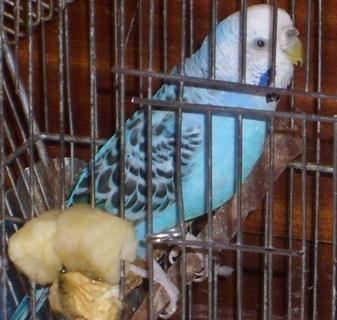 FOTKA - papoušek Pepík
