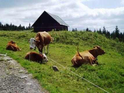 FOTKA - krávy na Růžové hoře