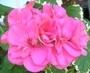 muškát růžový