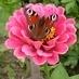 motýl-cínie