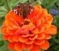 motýl na  červený cínii