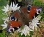 nádherný motýlek