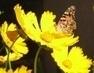 motýlkové