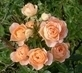 ...růže...