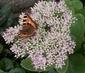 motýlek 5