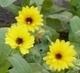 měsíček žlutý