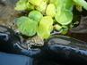 žabička v jezírku