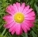růžová kopretina