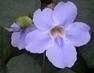 fialový květinky