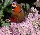 motýleček