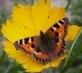 hladový motýlek