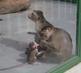 opičí rodinka-bohužel foceno za sklem