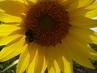 slunečnice a čmeláček
