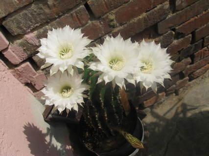 FOTKA - kaktus