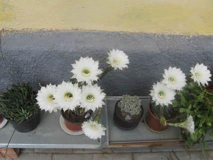 FOTKA - kaktus 4