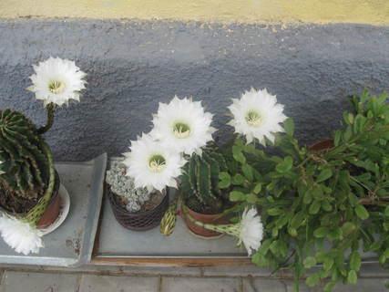 FOTKA - kaktus 5