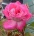 královna květin1