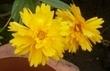 krásnoočko žluté