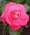 růže 10