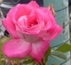 růže 16