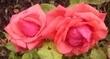 růže 11