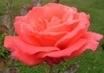 růže 12