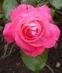 růže 13