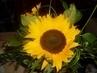 slunečnice :-)