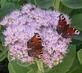 motýlí rande