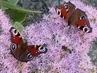 motýlí rande s návštěvou