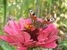 motýl 30
