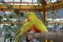 Papoušek 4