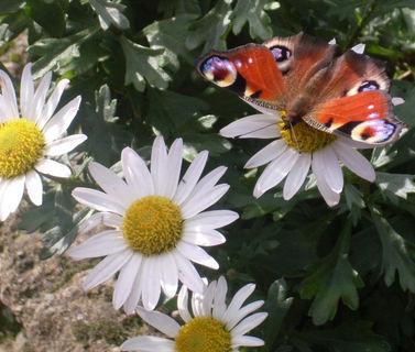FOTKA - motýl na chryzamtémě1