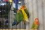 Papoušek 31