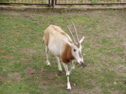 FOTKA - antilopa