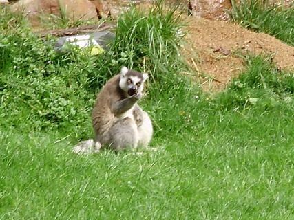 FOTKA - lemur