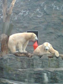 FOTKA - Lední medvědi v pražské ZOO 01