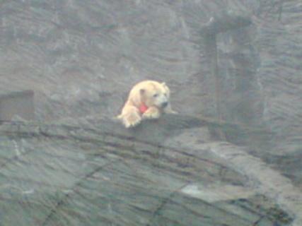 FOTKA - Lední medvěd v pražské ZOO 02