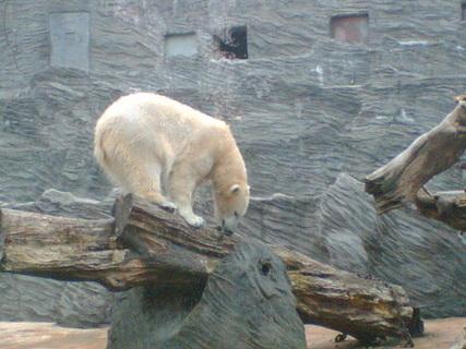 FOTKA - Lední medvědi v pražské ZOO 04