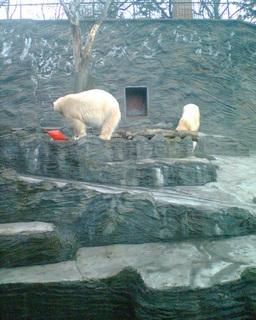 FOTKA - Lední medvědi v pražské ZOO 06
