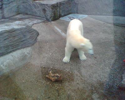 FOTKA - Lední medvědi v pražské ZOO 08