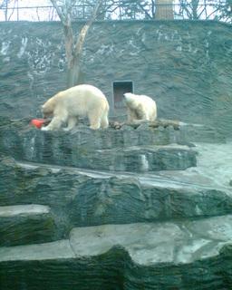 FOTKA - Lední medvědi v pražské ZOO 07