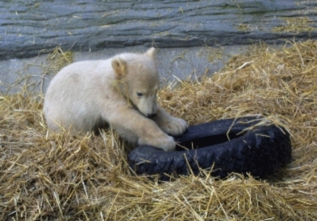 FOTKA - Lední medvídek